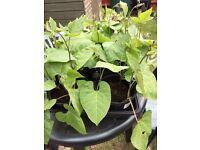 Runner Bean PLants large pot £2.50