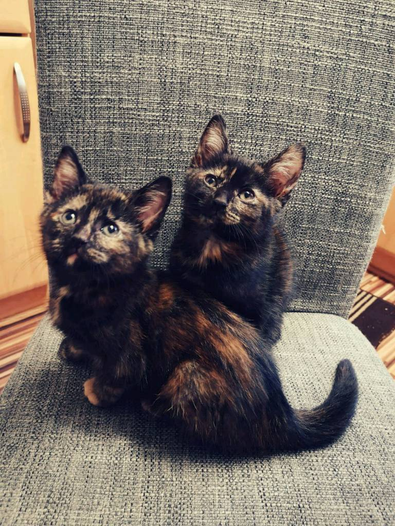 Gorgeous playful tortoise shell kittens | in Wolverhampton, West Midlands |  Gumtree
