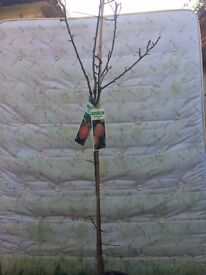 Family Apple Tree