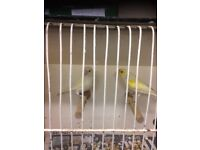 canaries and budgies for rehoming