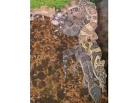 Baby colour morph leopard geckos for sale