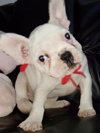White females French Bulldog Puppies ready now