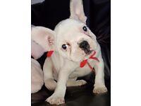 White females French Bulldog Puppies ready now