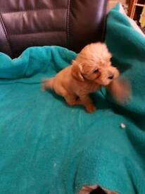 3 Puppies for sale
