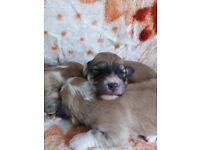Coton de tulear X Havanese Puppies