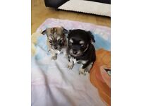 1 female long haired full bred chihuahua pups..