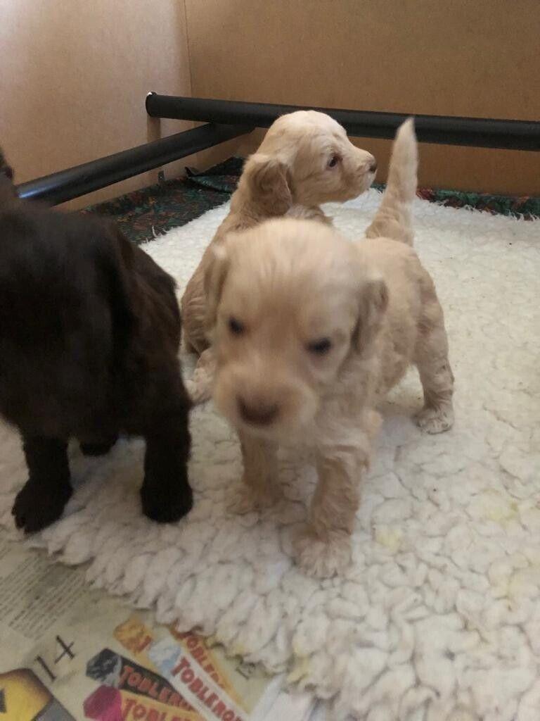 Miniature Labradoodle Puppies | in Headcorn, Kent | Gumtree