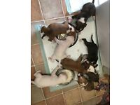 2 staffy pups left both brindle males