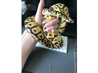 Royal Python/Ball Python