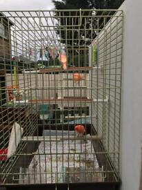 Two Red Factor Canaries and cage for For Sale