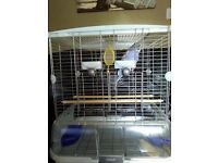 Pair of adult budgies with Cage
