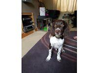 Springer Spaniel Pedigree Puppy 4 1/2 Months Old