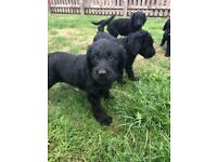 F1 LABRADOODLE PUPPIES READY NOW