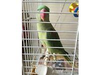 Alexandrian parrot
