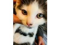 Gorgeous black and white boy kitten for sale