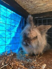 2 lion head bunnies and large hutch for sale