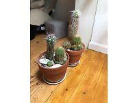 Cactus in a pot x 2