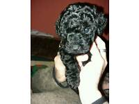 Jackapoo puppy boy