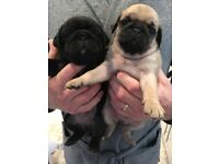 Pug in wales dogs puppies for sale gumtree champion bloodline pug pups for sale thecheapjerseys Choice Image