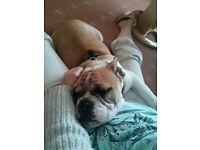 Female English Bulldog 17 wks