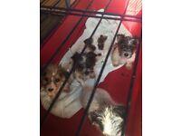 Jack russle puppys