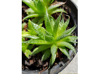Aloe Vera, House plant, succulent, evergreen, aloes, house plant, decoration, gift