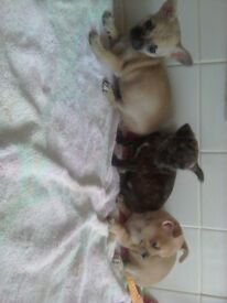 Male chihuahuas for sale