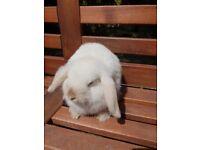 Pure white beautiful mini lop (pure bred)