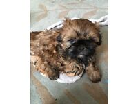 Shih Tzu half imperial puppies for sale