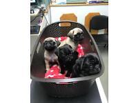 Pug pups - pug puppies