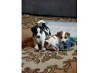 Jack Russell Puppies for sale, 2 females, 1 male. Ready for new homes from the 22nd of June 2018.