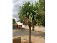 Fantastic Palm Tree approximately 12ft
