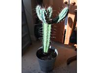 Very large cactus
