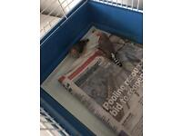 Pair of zebra finches
