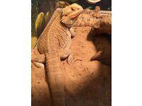 Bearded dragon with 4ft vivarium