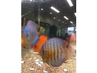 Discus fish including red spotted green wild