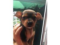 Beautiful tiny girl puppy