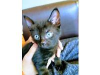 Little black cat.like bat from hotel Transylvania