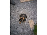 Patterjack FREE to good home