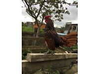 Free to good home 2 lovely cockerels 1 year old one bantam one normal size
