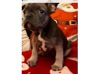 French bulldogs (READY NOW)