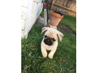 Pug pups ready now