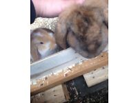 8 week old giant French lop