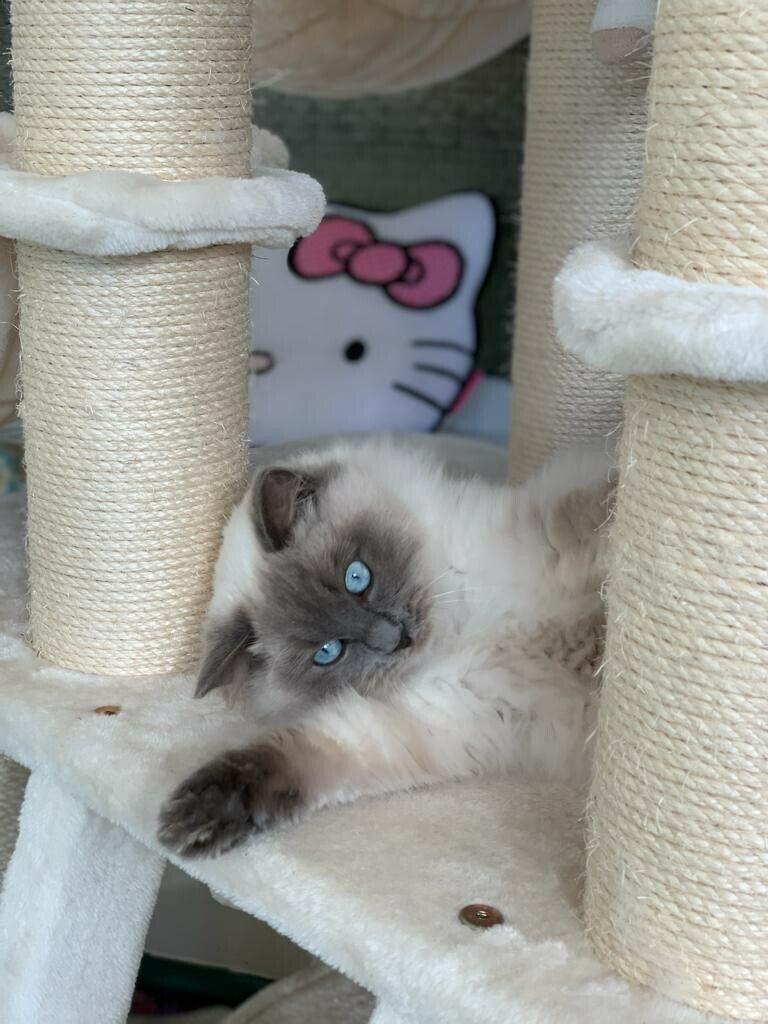 Male Pedigree Blue Point Ragdoll Cat For Sale In Purley London Gumtree