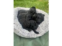 Collie x miniature poodle puppies
