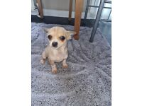 Jack Russell cross Chihuahua