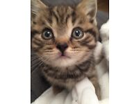Beautiful British shorthair kittens READY NOW