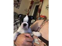 Boston terrier,great looking and affectionate boy,
