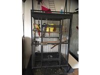 Pineapple conure 5months old with full set up
