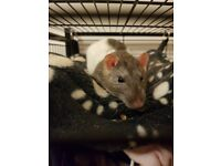 2 male rats complete with cage